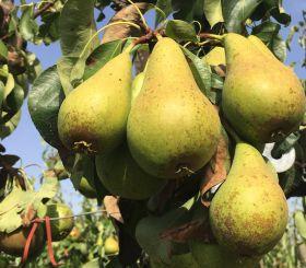 Opportunity knocks for Belgian pears