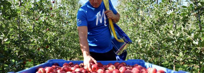 New apple varieties on sale in spring