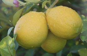 Turkish citrus back to competitiveness