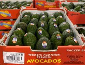 Australian avocados turn to seafreight