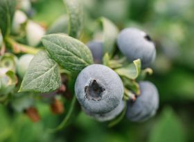 BerryWorld's SA blueberry exports 'set to rise 25%'