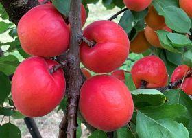 New NZ fruit development opens to investors