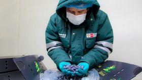 Peruvian blueberries increase access