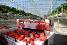 Hoogstraten launches UK berry campaign