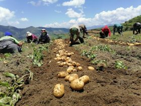 Philippine potato project supports growers