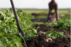 Retailers commit to sustainable potatoes