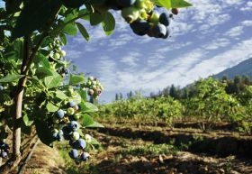 Chile projects blueberry growth