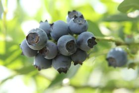 Argentinean blueberry crop shrinks