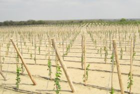 Peru looks to new grape varieties
