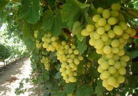 Record volumes of California grapes