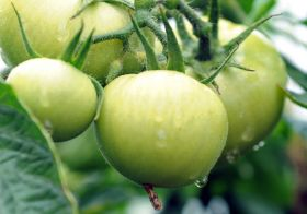 Premier and Mercuri sign tomato deal