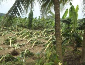 Deluge impacts Costa Rican bananas