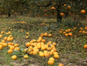 Frosts cut swathes into Uruguay citrus
