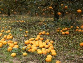 Frosts cut swathes into Uruguay citrus