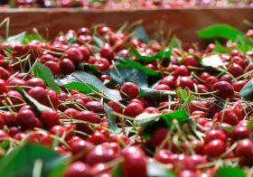 NW cherry crop estimate revised