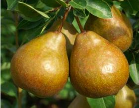 CF Fresh introduces Durondeau pear