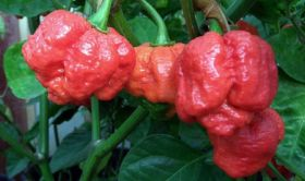 World&#039;s hottest chilli revealed