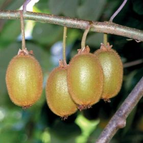 French kiwifruit closes in on Vietnam