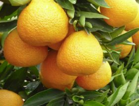 Water worries for RSA citrus