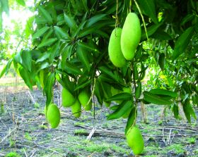 Whole Foods offers Haitian mangoes