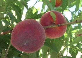 AG Thames secures Oz Peach deal