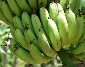 Project boosts African bananas