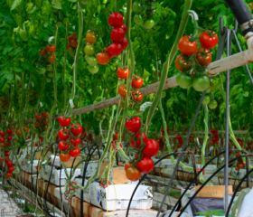 Veg growers defend greenhouses