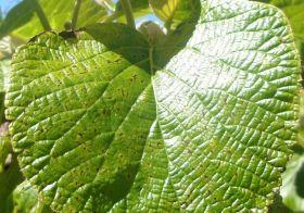 Psa 'spreading to Lazio green kiwifruit'