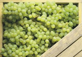 Chile halts grape exports to Australia