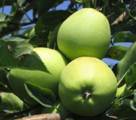 Serbia's apple sales to Russia climb