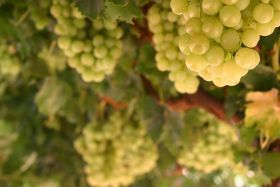 Victorian grape exports near record levels