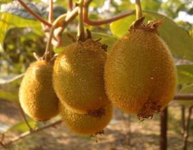 Greek kiwifruit harvest underway