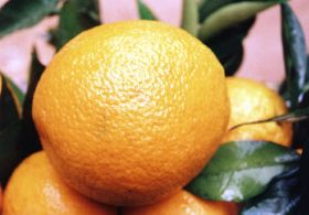 Syrian violence helps Egyptian citrus