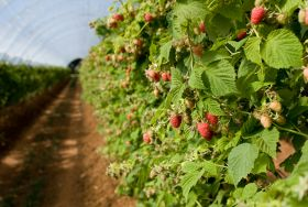 Plan to protect berry industry