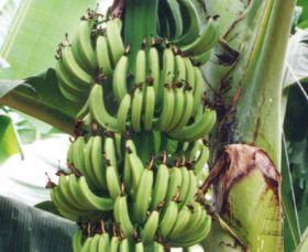 African team makes banana breakthrough