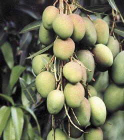 Ghana outlines mango scheme
