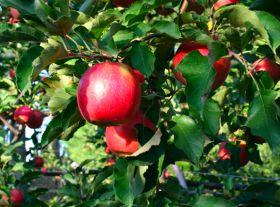 Push for Australian fruit exports