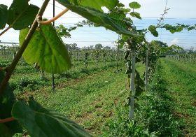 'Doping' scandal hits Italian kiwifruit