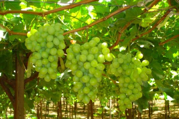 Bayer and Univeg partner on grapes