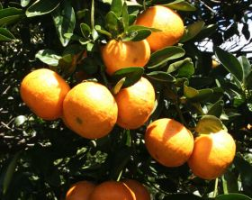 "Florida citrus aid bill ""can't wait"""