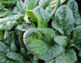 Spinach 'can detect explosives', research reveals