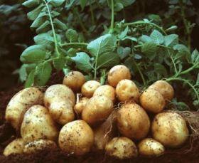 Indian potato prices double