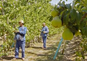 South African topfruit remains steady