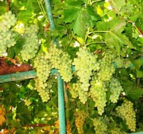 Namibia reports healthy grape sales