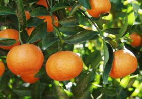Morocco faces surfeit of citrus