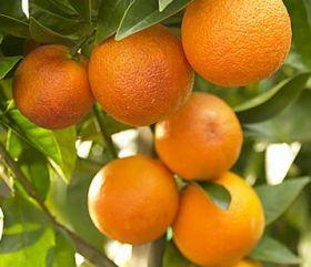 Tunisia plans citrus campaign