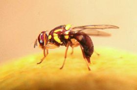 Fruit fly detected in Mildura