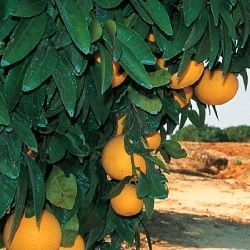 Israeli citrus crop up 10 per cent