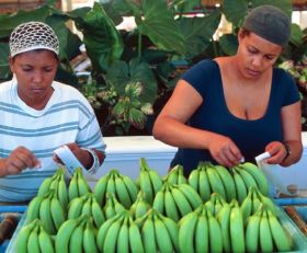 Dominica weighs up banana possibilities