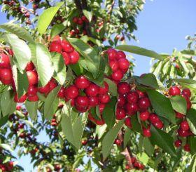 Compressed season for California cherries